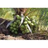 10 Mudas De Coqueiro Coco Anão Precoce Verde Super Promoção