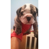 Hembra Bulldog Ingles De 5 Meses