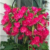 Sementes De Flor Cacto Orquidea Nopalxochia Mix P/ Mudas