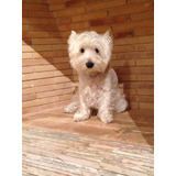 West Highland White Terrier Westy Busca Novia