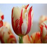 Sementes De Flor Tulipa - 15 Sementes Para Mudas