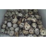 Huevos Codorniz Para Consumo O Incubación