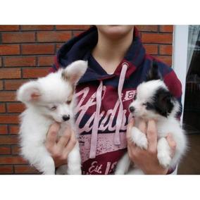 Macho Y Hembra Hermosos Cachorros Papillon Para Adopción