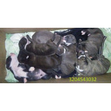 Cachorros De Pitbull American Terrier
