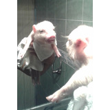 Mini Pigs Auténticos, No Dejes Que Te Engañen