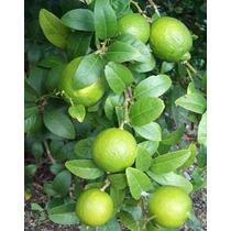 Limón Criollo ( Árbol ) , 2.30 M , C Espinas Produciendo