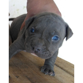 American Bully Blue - Ultimo Macho Disponible