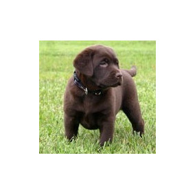 Labrador Retriever Cachorros Chocolates Rockefeller Willsam