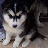 Cachorro Hembra Husky Siberiano Preciosa Ojos Azules