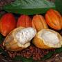 Mudas De Cacau - Theobroma Cacao