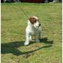 Jack Russell Terrier Pelo Duro Pedigree Internacional