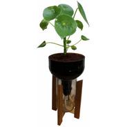 Peperomia Cuchara Little Plant 27 Con Soporte