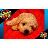 Cachorros French Poodle Tacita De Te De 22cm 100% Legitimos