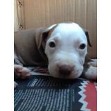 Cachorros Pitbull De Un 1de Nacido