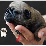Pug - Lindos Filhotes - Pedigree Excepcional !!