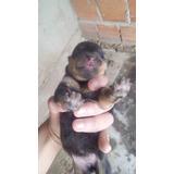 Vende-se Filhotes De Rottweiler Padrao Americano