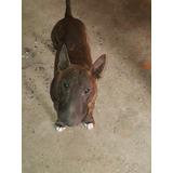 Semental Bull Terrier Ingles Pedigree