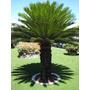 Palma Sagu Plantas De Jardin (hijuelos Diferentes Tamanos)