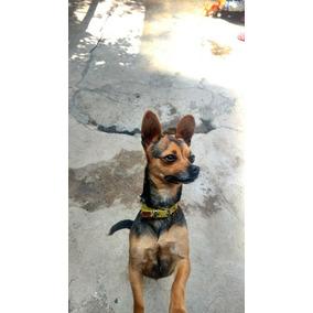 Chihuahua De Año Y Medio