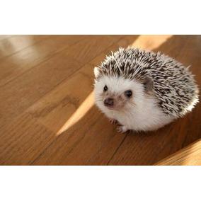 Filhote Hedgehog Ouriço Pigmeu Em Sp