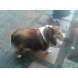 Pastor Shetland Cachorro Garantizado Vendo Collie Chiquito