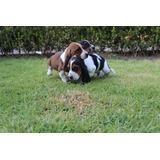 Hermoso Cachorro Hush Puppies Legitimo