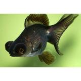 Goldfish Carassius Telescopicos Negros Peces Agua Fria 3,5cm