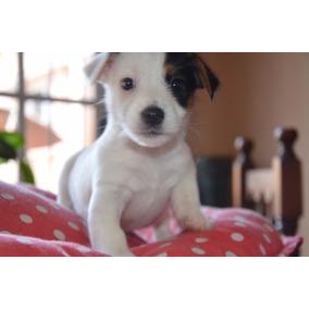 Jaks Russell Cachorros Con Chip Y Pedigri Definitivo De Fca