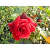 Rosales Rosauer, Espectaculares !!!!!!!!!!!!!