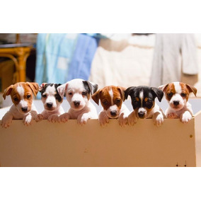 Cachorros Jack Russell Macho