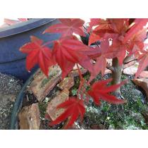 50 Sement/muda Acer Maple Vermelh+10 Pinheir Negro/bonsai