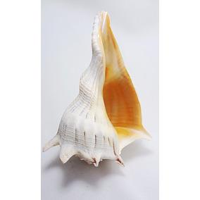 Caracol Marino Izquierdo O Zurdo Blanco 15.5 Cm