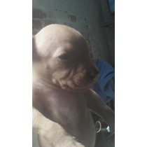 Cachorros Pitbull Red Nose