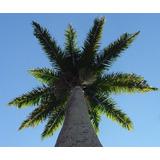 Palmeira Real Muda Com 80 Cm + Brinde