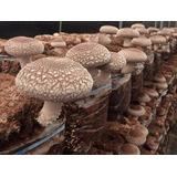 2 Blocos De Substrato Pronto Shitake Para Cultivo 4kg Total