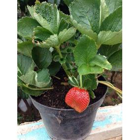 Planta De Fresa 50 Plantas Y Fertilizacion Enraizador