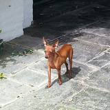 Pinscher Mini..mini..machito (criadero K.n)