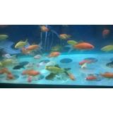Goldfish Cometas Shubunkin Telescopicos Cabeza De León 5 Cm