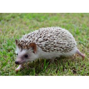 Criação De Hadgehog (ouriço Pigmeu Africano) - Manual