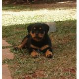 Rottweiler Macho Canil Rottland Carlos Eduardo