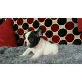 Se Vende Cachorra Exótica Bulldog Frances Mini Vaquita
