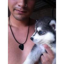 Filhotes De Husky Siberiano De Olho Azul Vacinado Vermifuga