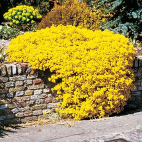 Alyssum Amarelo Sementes Flor Para Mudas