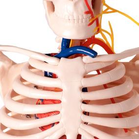 Esqueleto 85cm Com Os Vasos Sanguíneos E Nervos