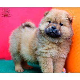 Cachorros Chow Chow Color Leonados/colorados. Envio/cuotas!