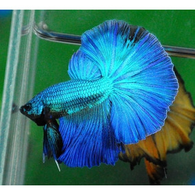 Parejas Betta Show Ohm Solidos, Black, Blue Y White