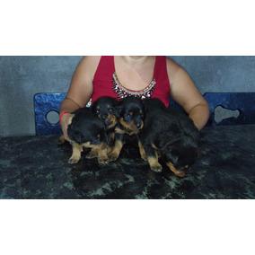 Vende Se Filhotes De Rottweiler Puros 3 Fêmeas Disponíveis