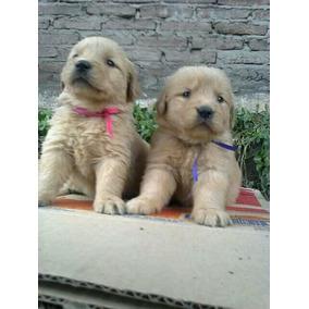 Hermosos Cachorros Golden Retriever!!