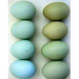 Huevos Fértiles De Gallina Araucana Kolloncas Y Ketro