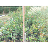 Plantas De Photinia